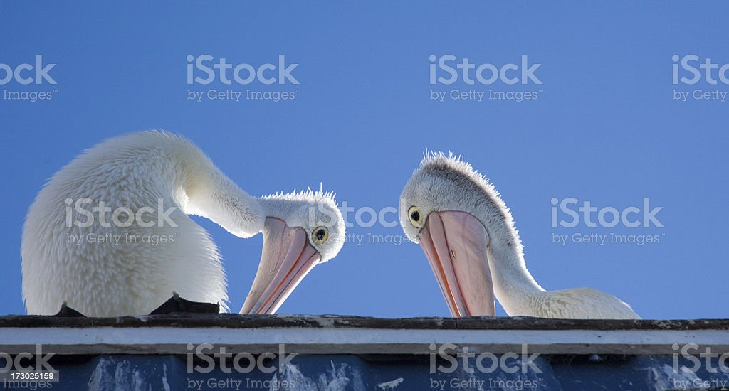Pelican pair looking at you. stock photo