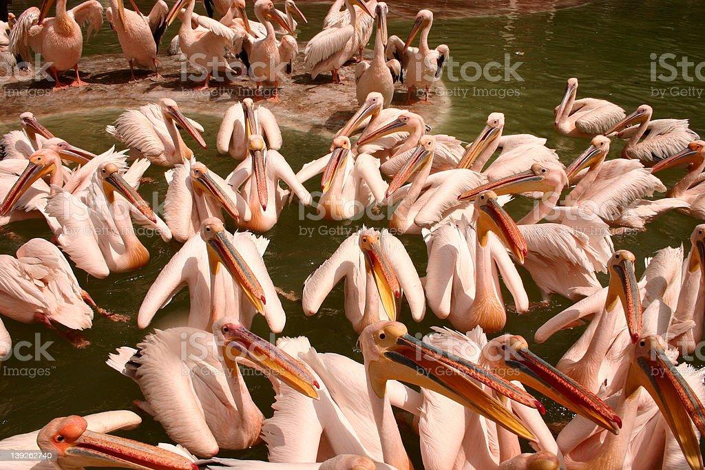 pelican party stock photo