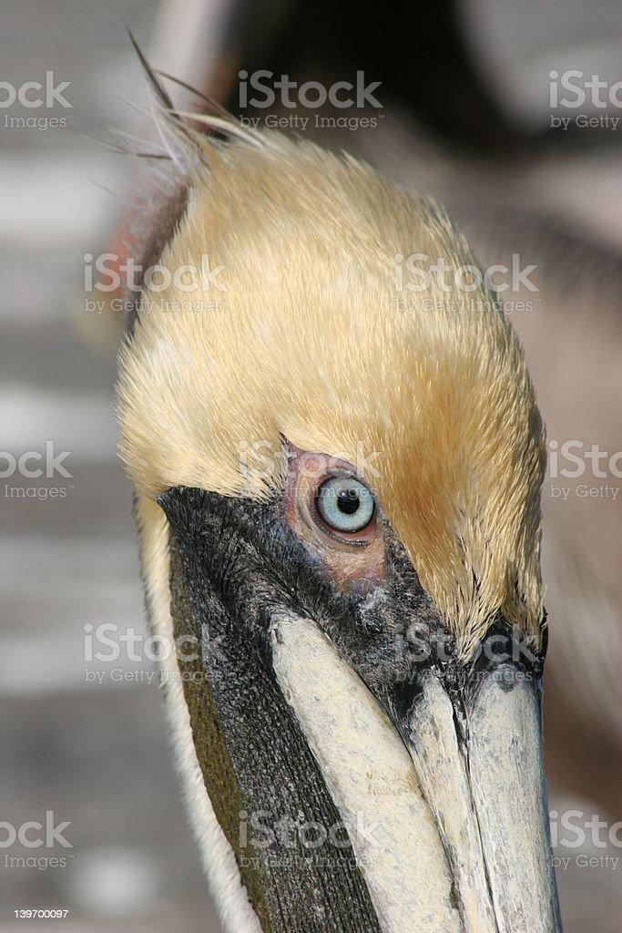 Pelican foto de stock libre de derechos