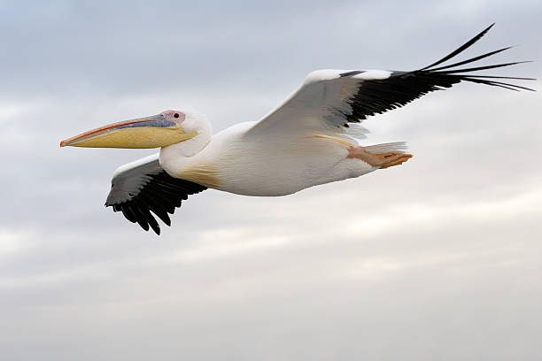 Pelican pictures images and stock photos istock - Fotos de pelicanos ...