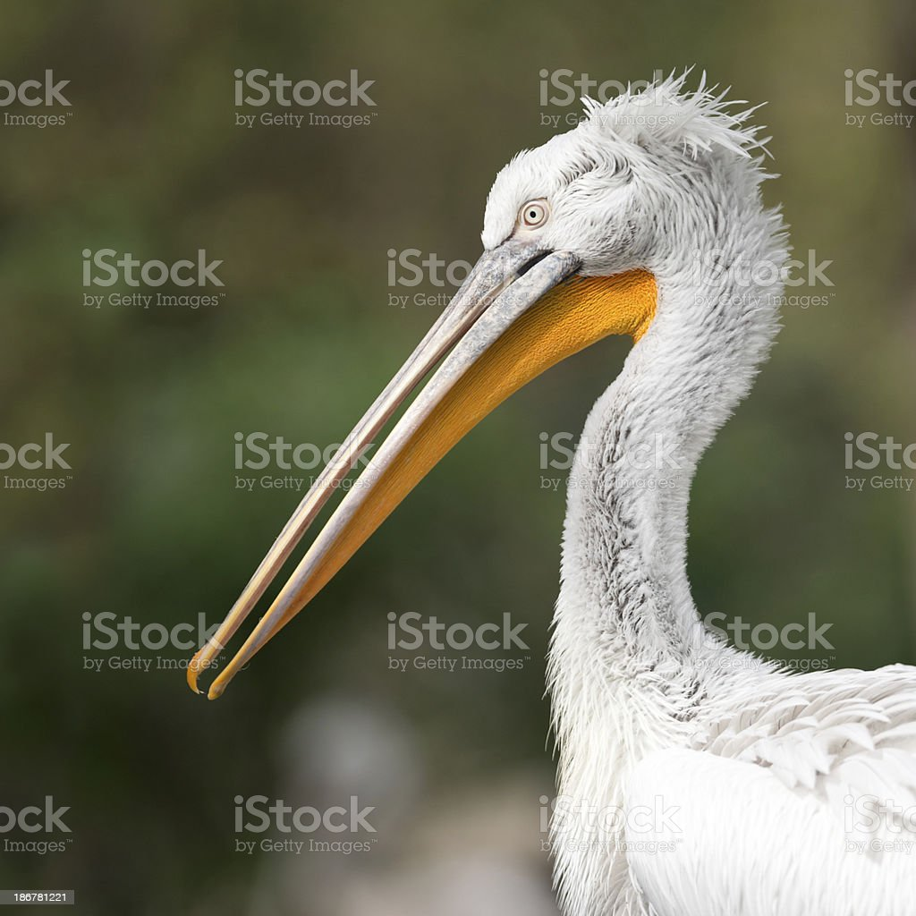 Pelican royalty-free stock photo