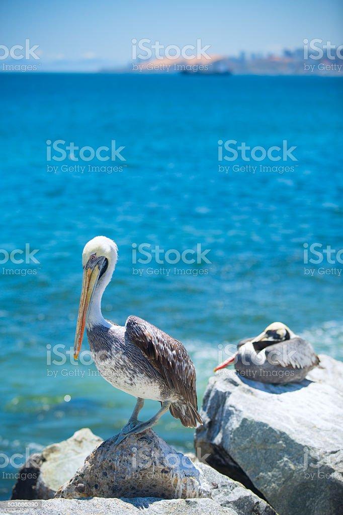 pelican . stock photo