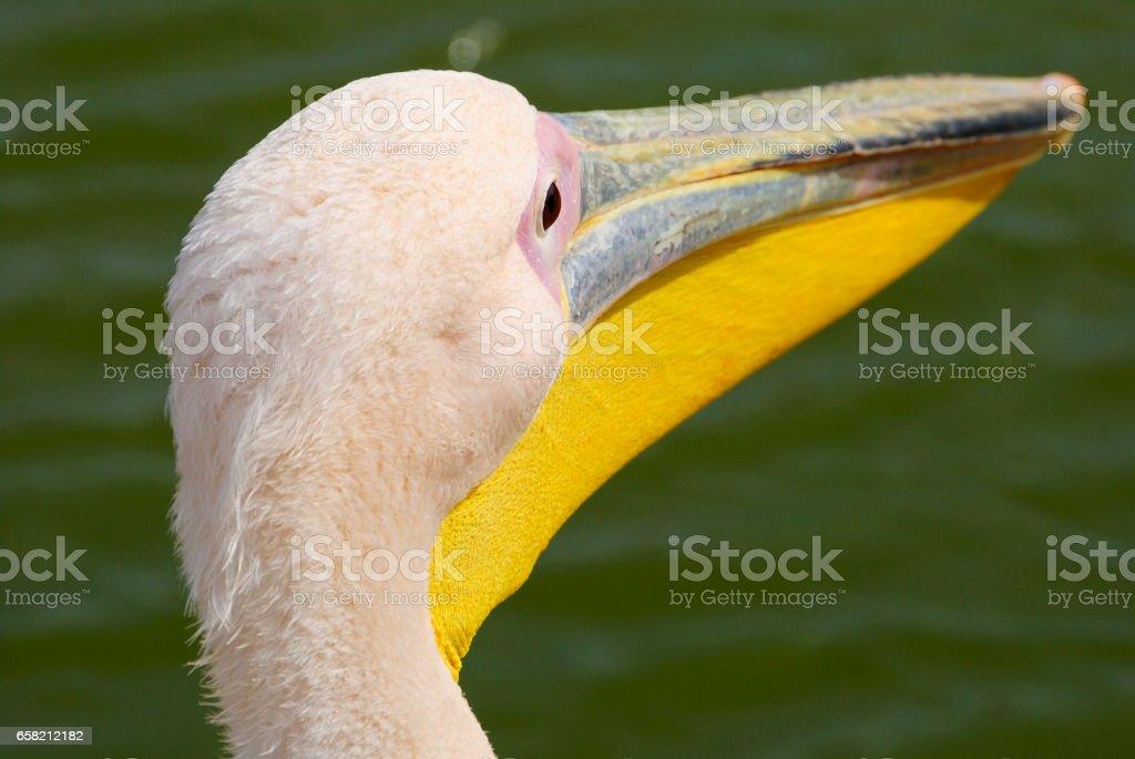 Pelican. stock photo