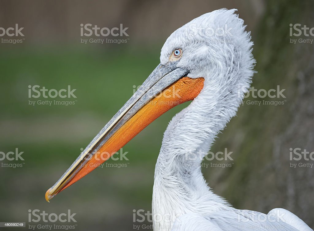 Pelican Portrait royalty-free stock photo