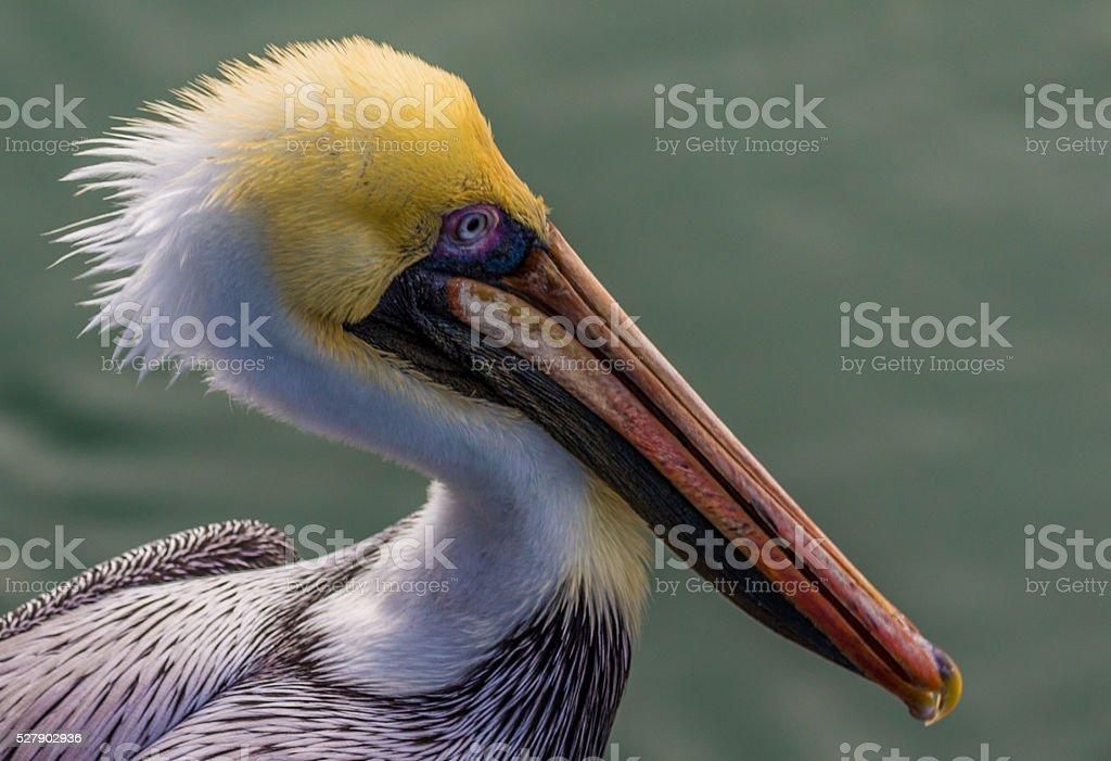 Pelican Profile stock photo