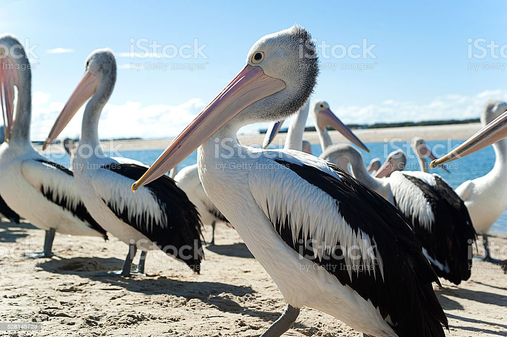 Pelican profile stock photo