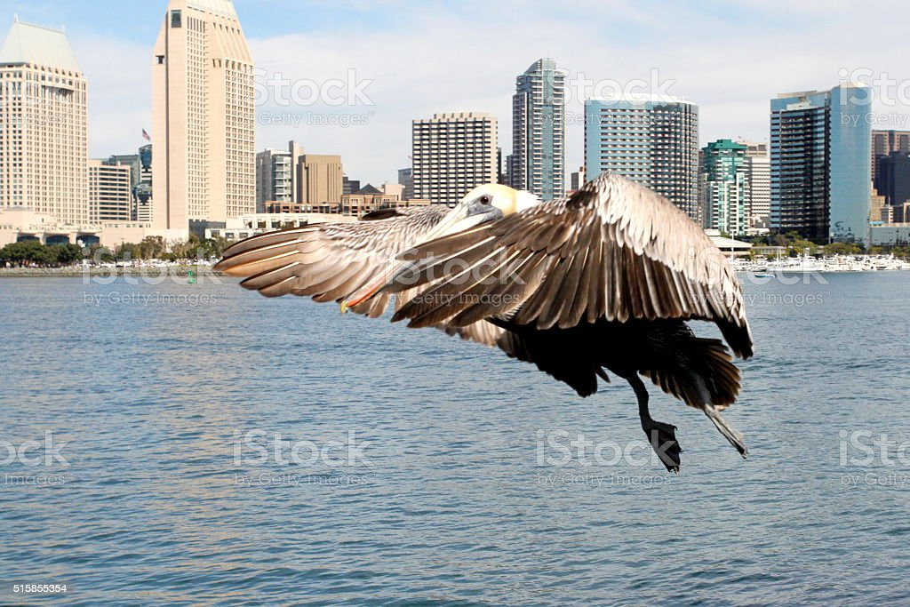 Pelican Ready To Land stock photo