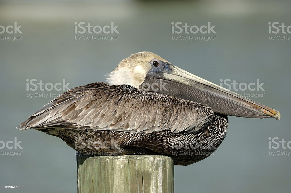 Pelican resting royalty-free stock photo