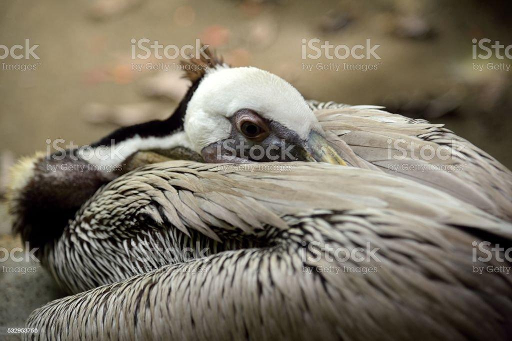 Pelican resting stock photo