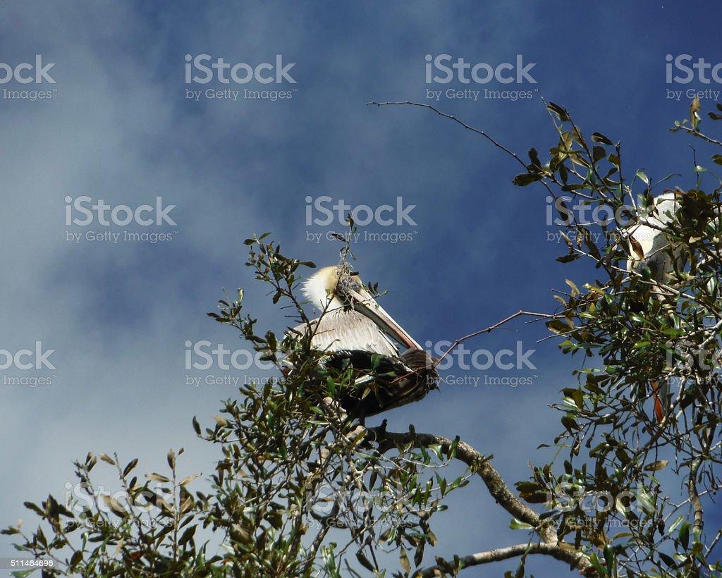 Pélican située dans arbre photo libre de droits