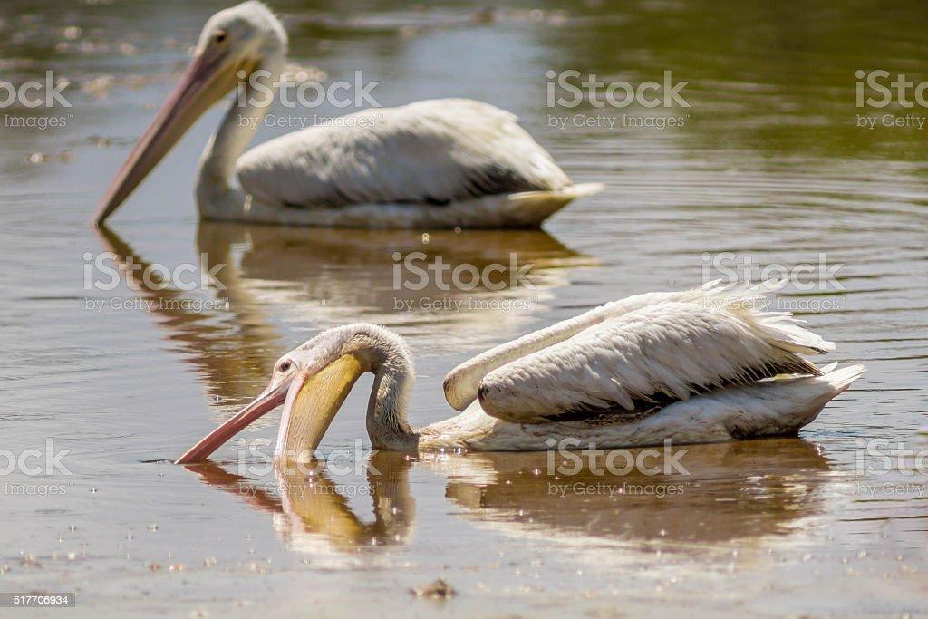Pelican Scooping Fish stock photo