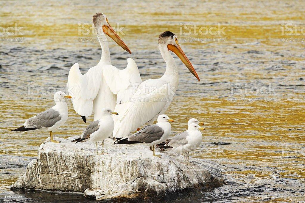 Pelican Seagull Guano Rock Birds stock photo
