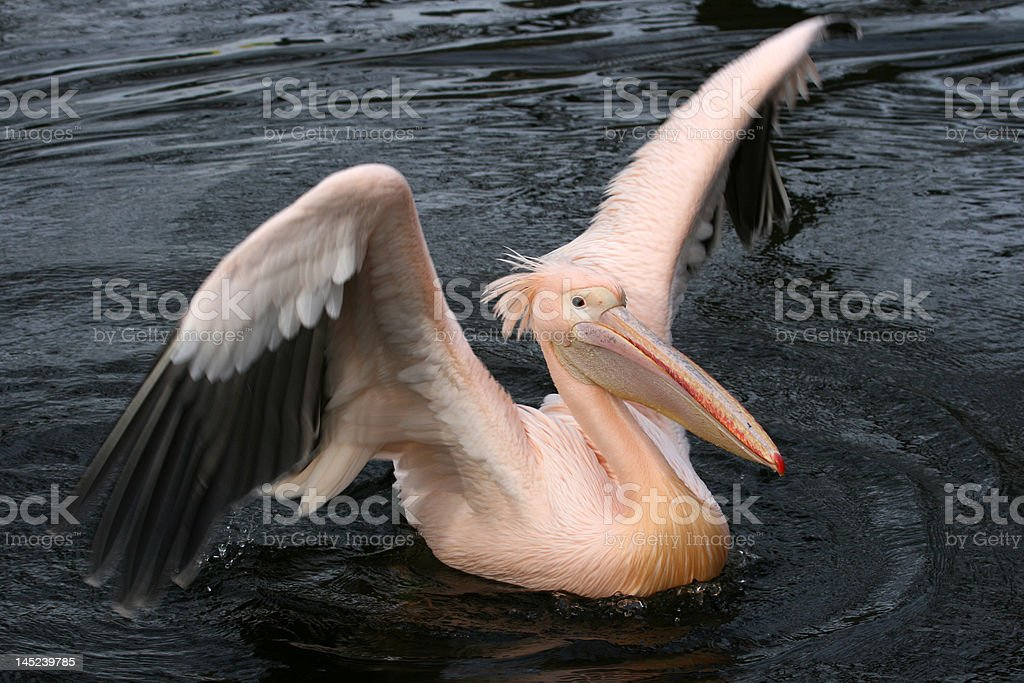 Pelican showing off royalty-free stock photo