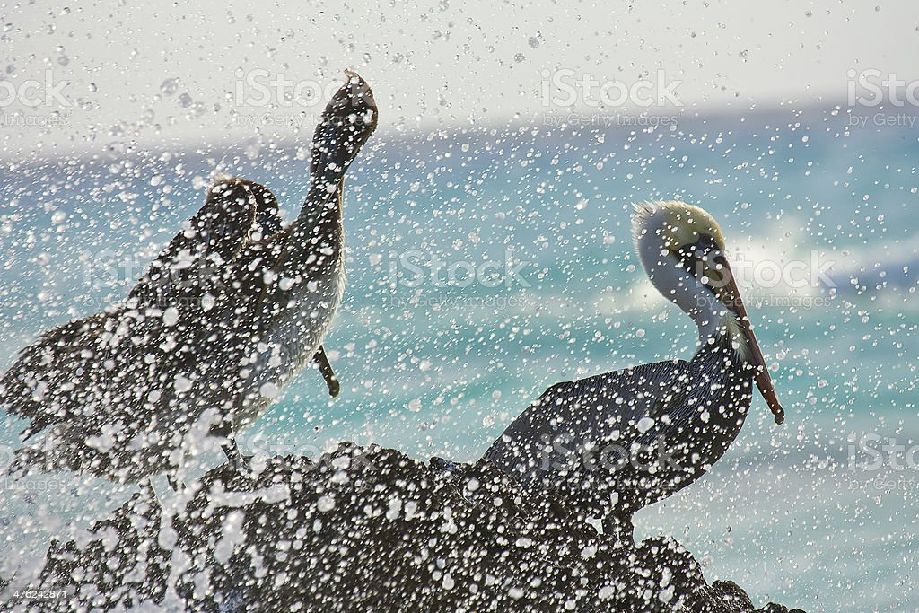 Pelican sitting on a rock stock photo