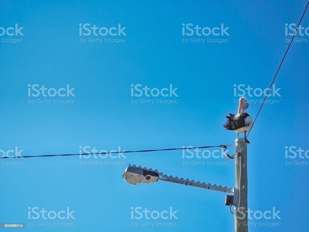 Pelican Sitting On Street Light stock photo