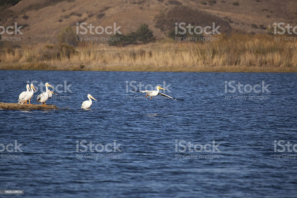 Pelican Soar royalty-free stock photo