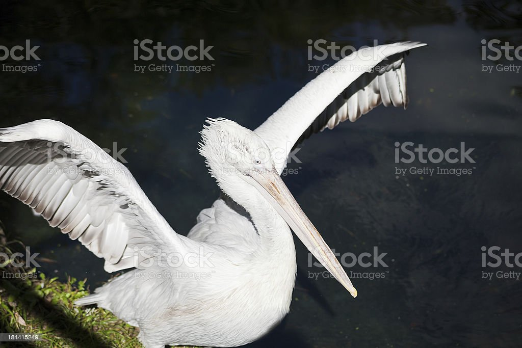 pelican spread its wings royalty-free stock photo