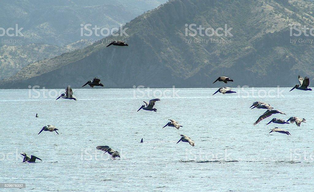Pelican squadron stock photo