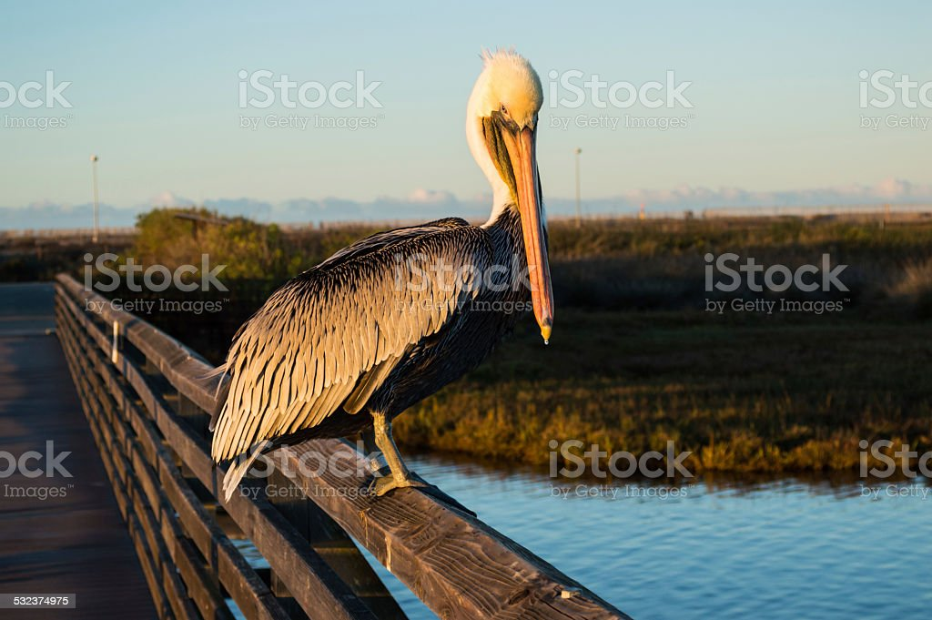 Pelican staring at sunrise stock photo