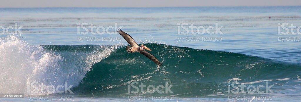 Pelican surfing stock photo