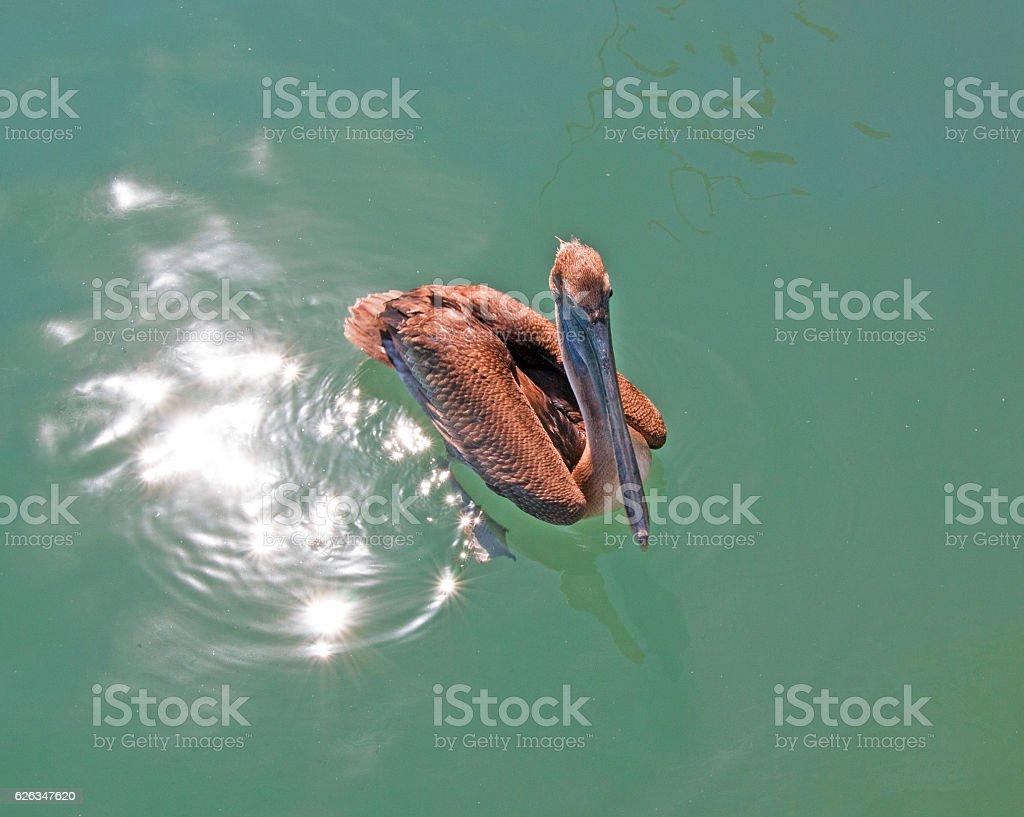 Pelican swimming in Cabo San Lucas marina in Baja Mexico stock photo
