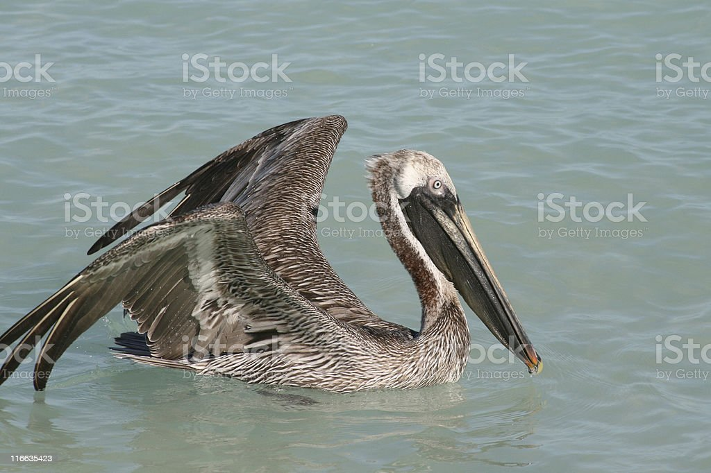 Pelican swimming in the Carribean sea royalty-free stock photo