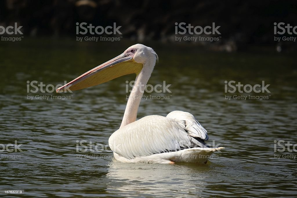 Pelican swimming on african lake stock photo