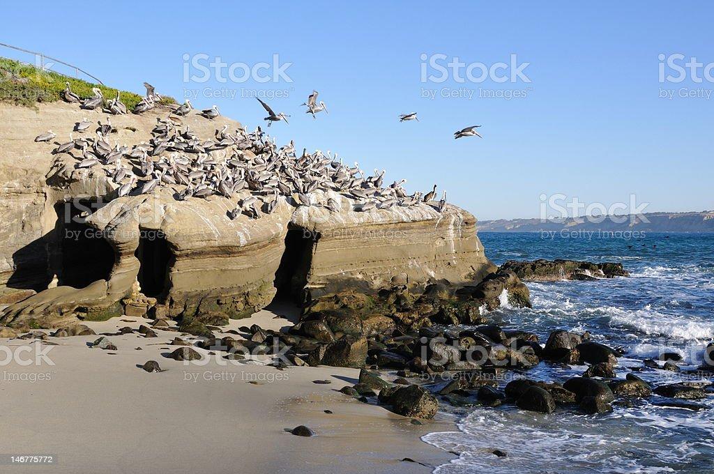 Pelican despegue foto de stock libre de derechos