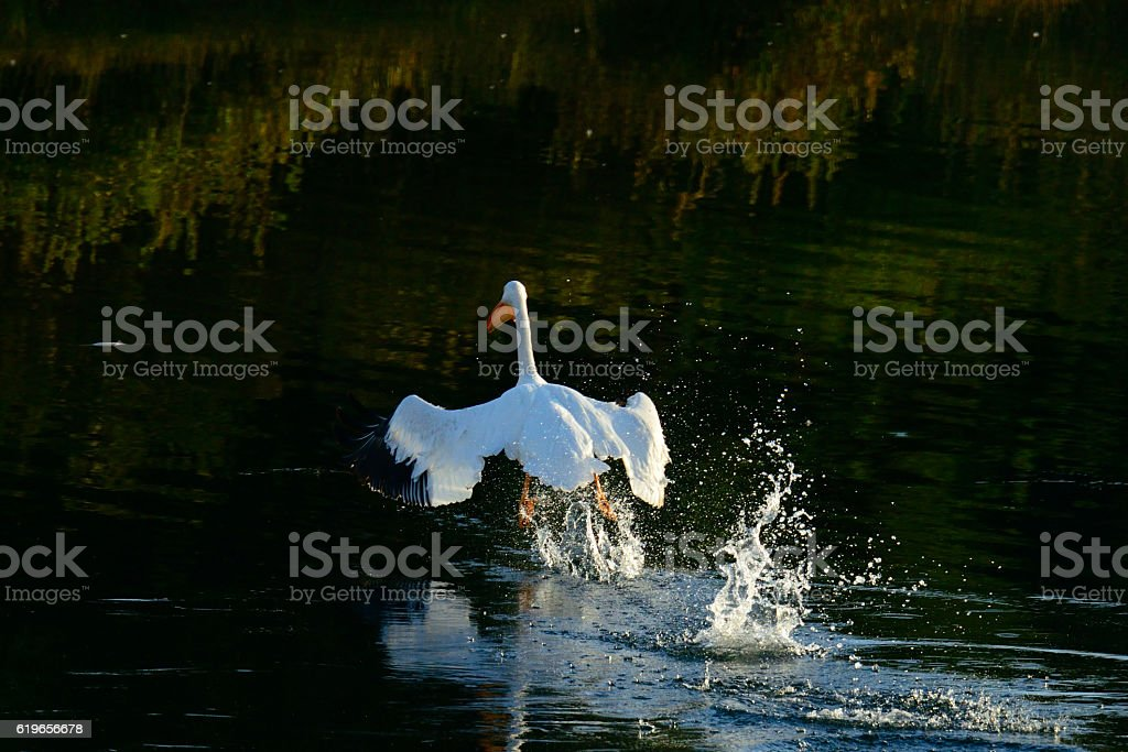 Pelican taking off at Oxbow Bend Wyoming USA stock photo