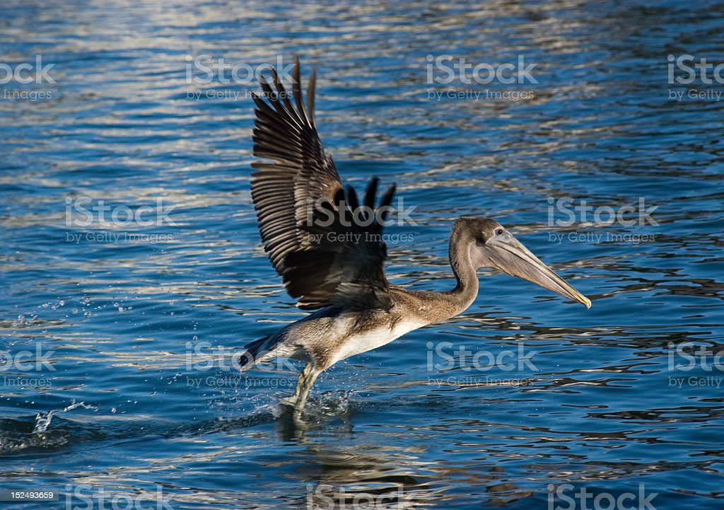 Pelican Taking Off royalty-free stock photo