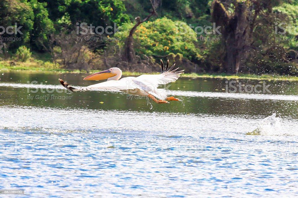 Pelican taking off stock photo