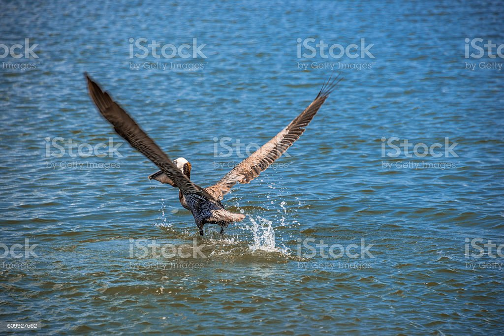 Pelican taking off stock photo