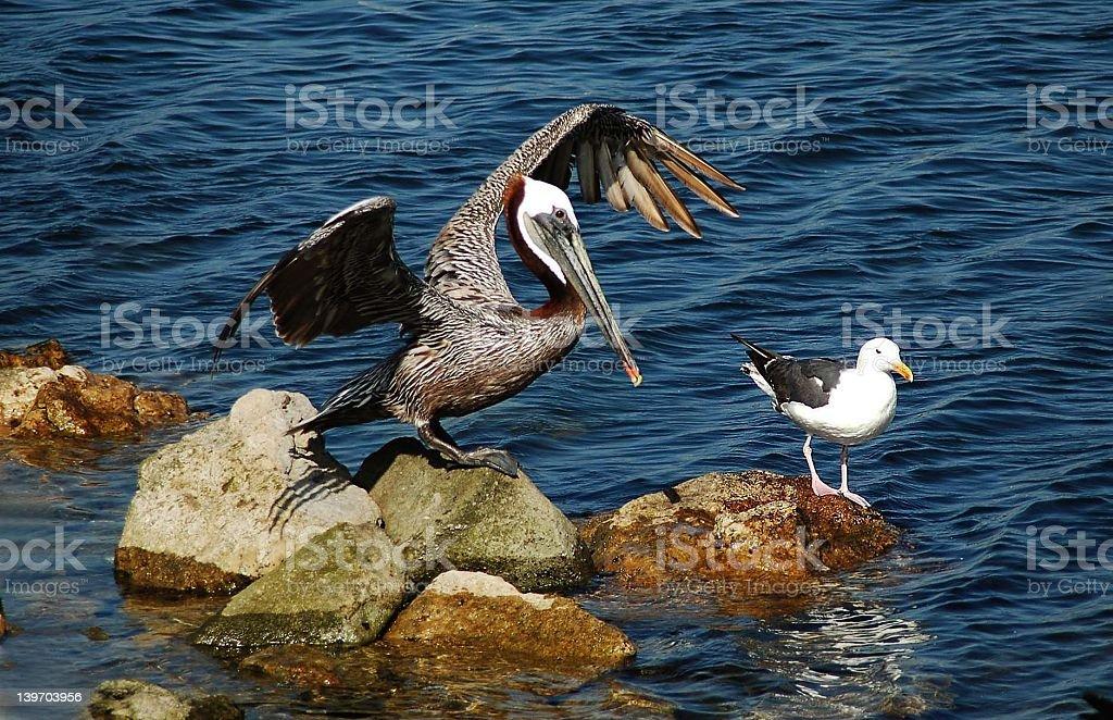 Pelican vs seagull stock photo