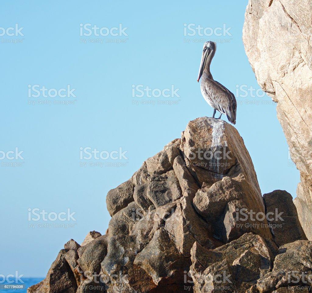 Pelican warming in the sun on Los Arcos rocks stock photo