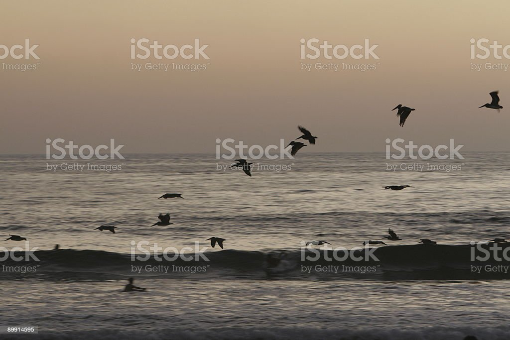 pelican wave stock photo