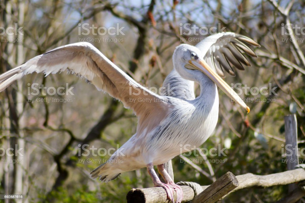 Pelican who makes his toilet on a wooden stock photo