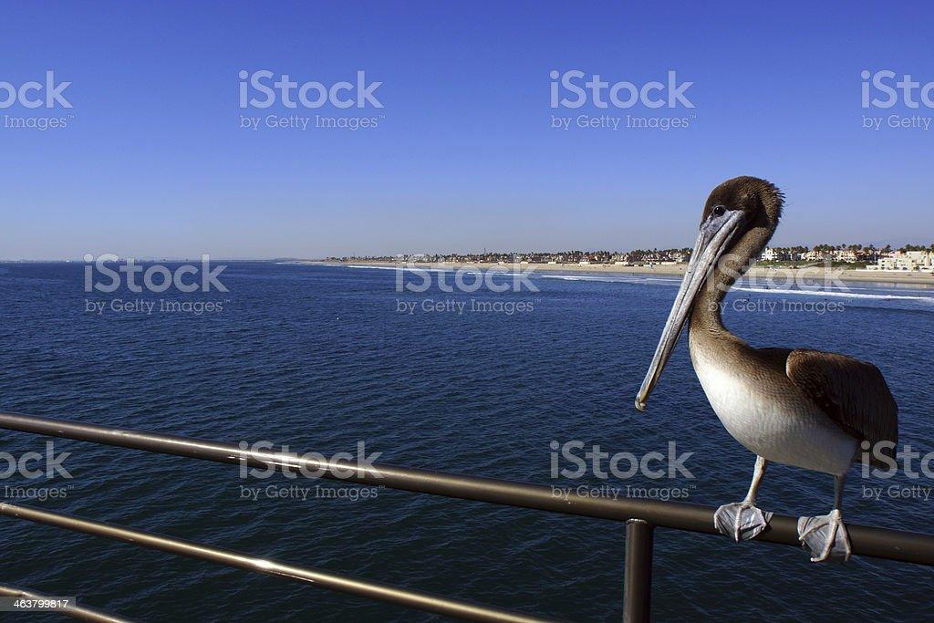 Pelican Wideangle stock photo