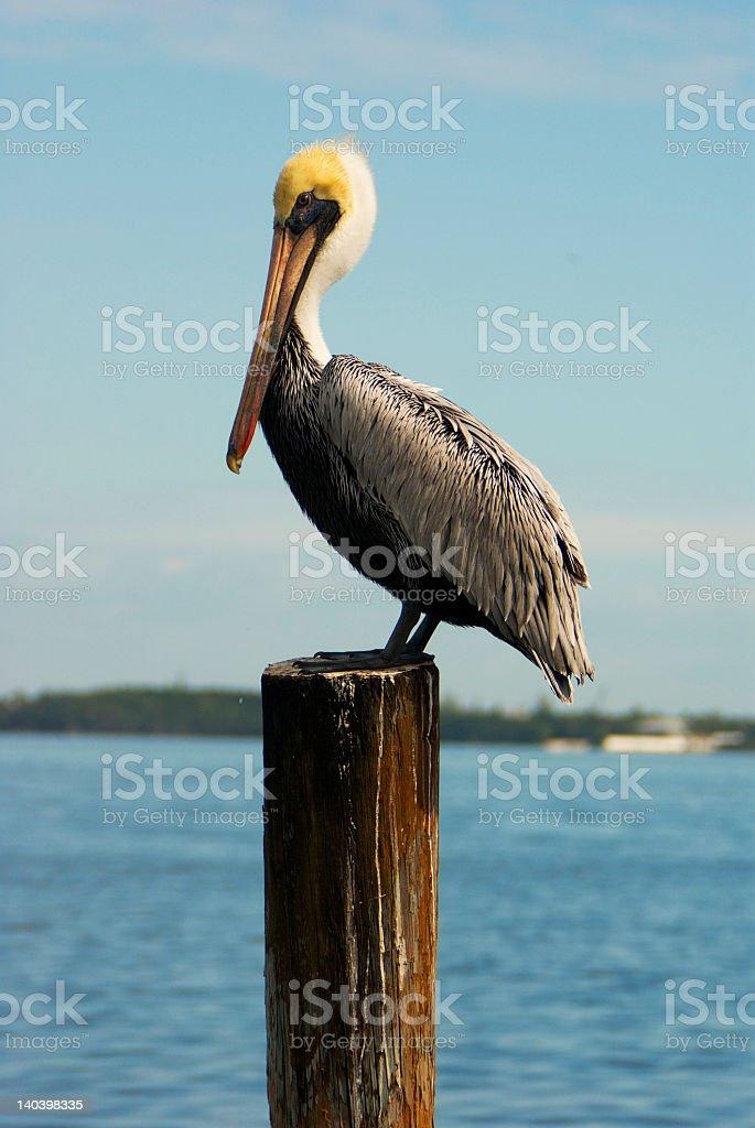 Pelican-1 stock photo