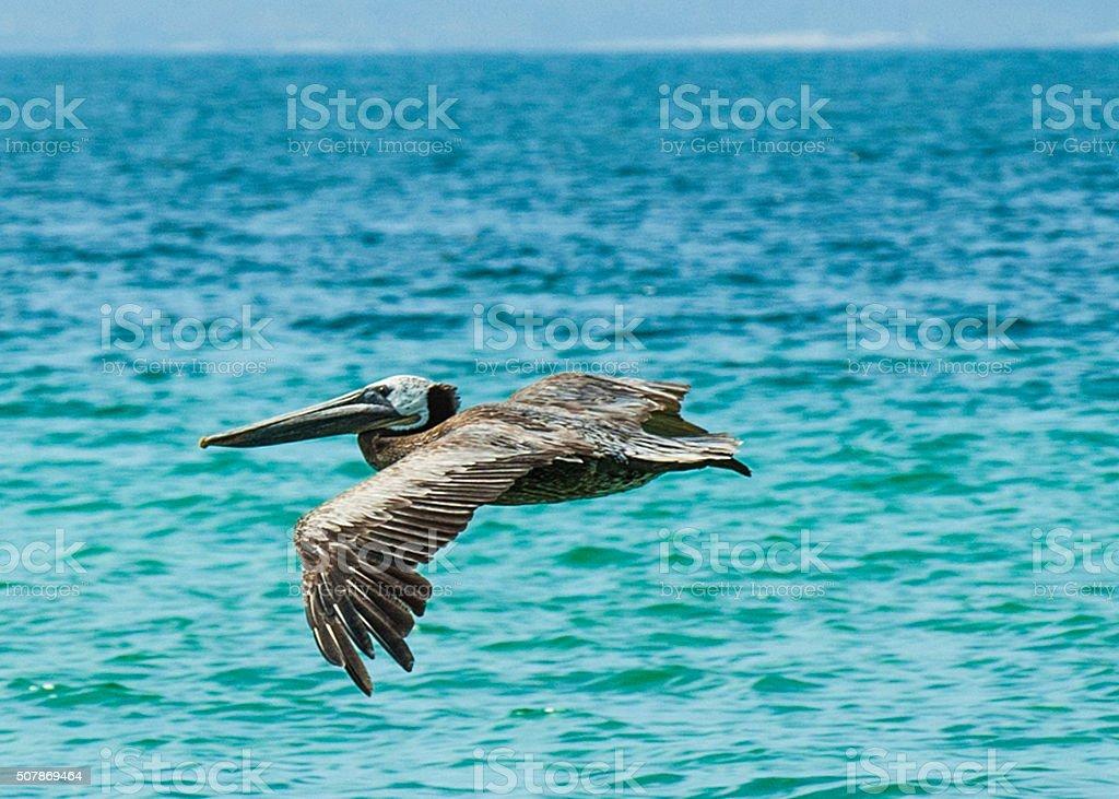Pelicano stock photo