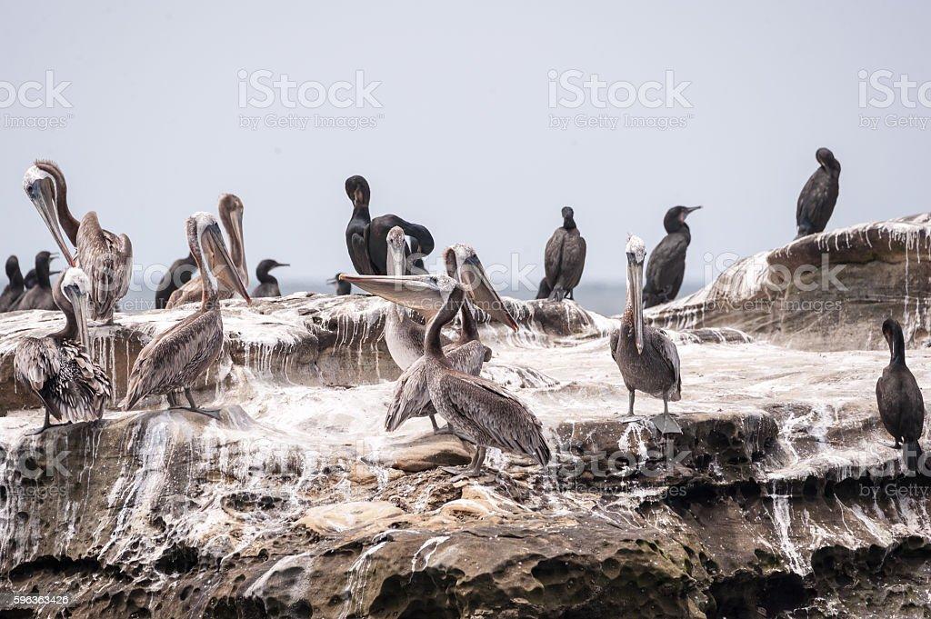 Pelicans and Cormorants stock photo