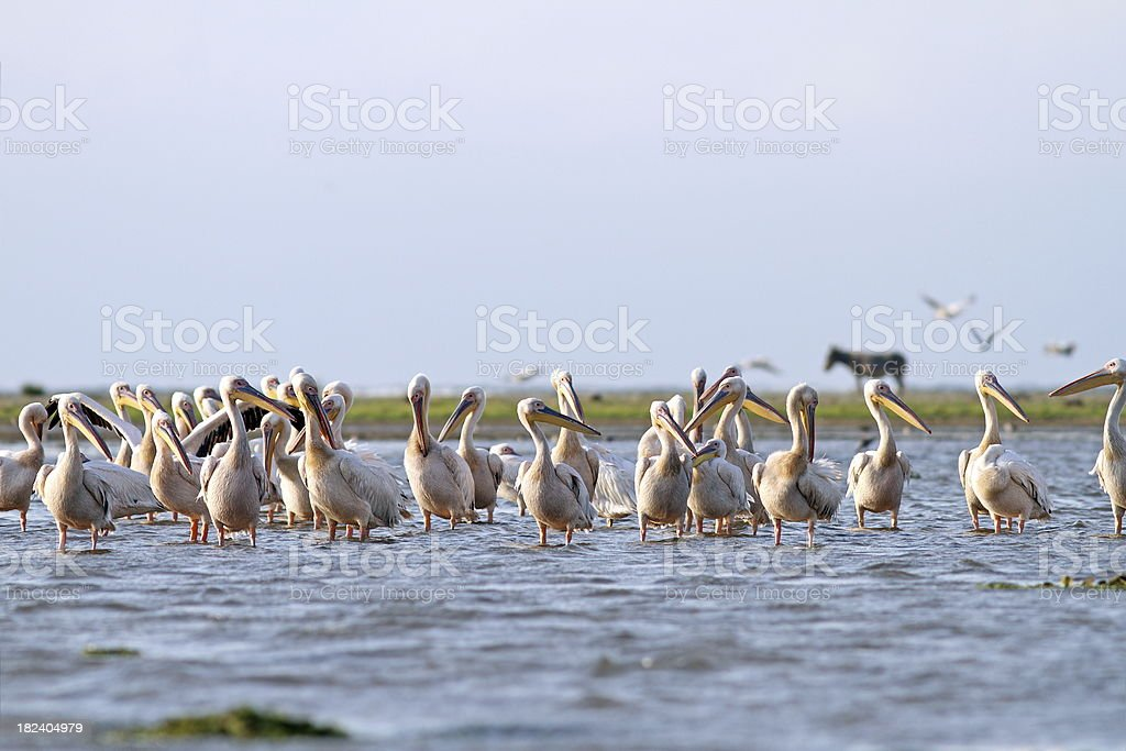 pelicans and donkey on Sahalin island royalty-free stock photo