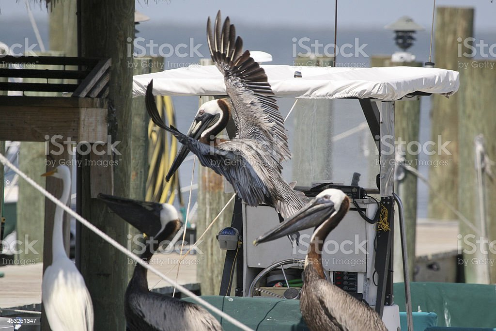 Pelicans at Boat Dock stock photo
