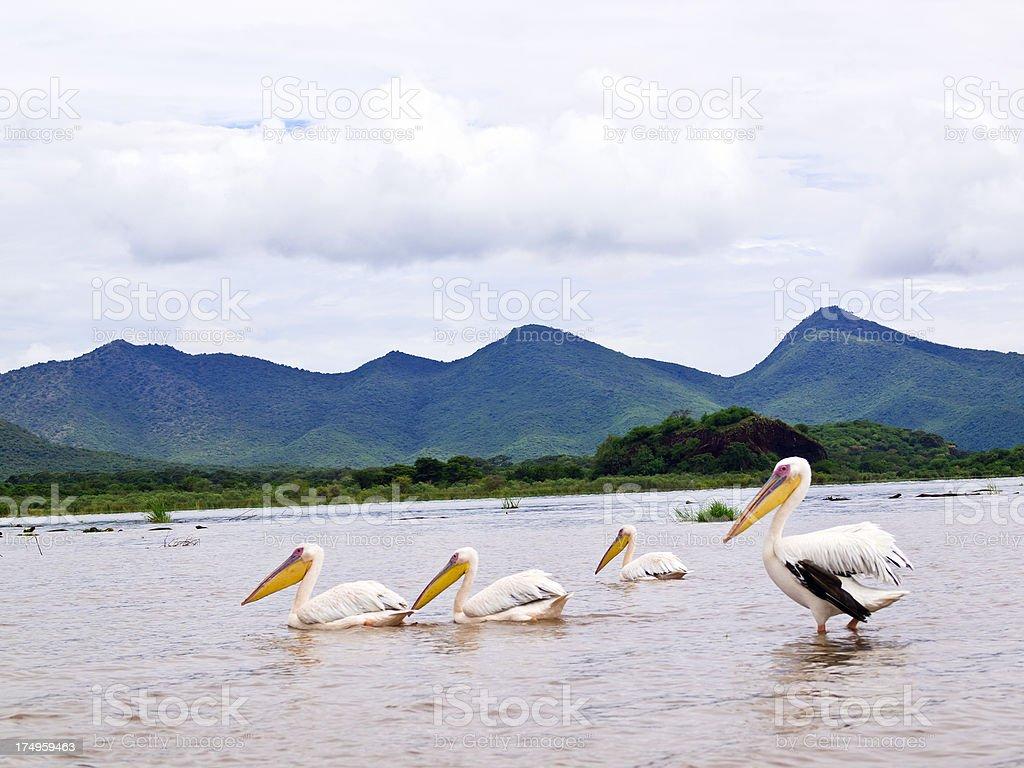 Pelicans at Chamo stock photo