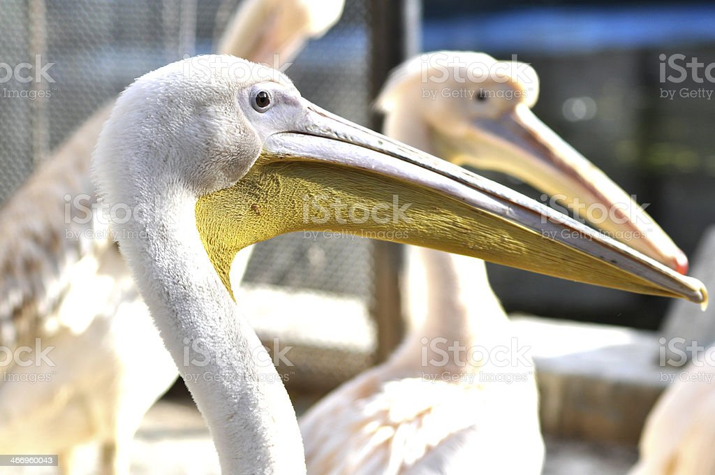 Pelicans at zoo royalty-free stock photo