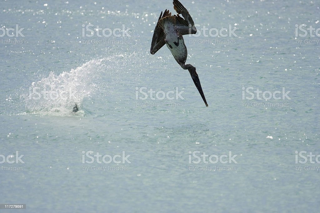 Pelicans diving in tandem (1st of 2) stock photo