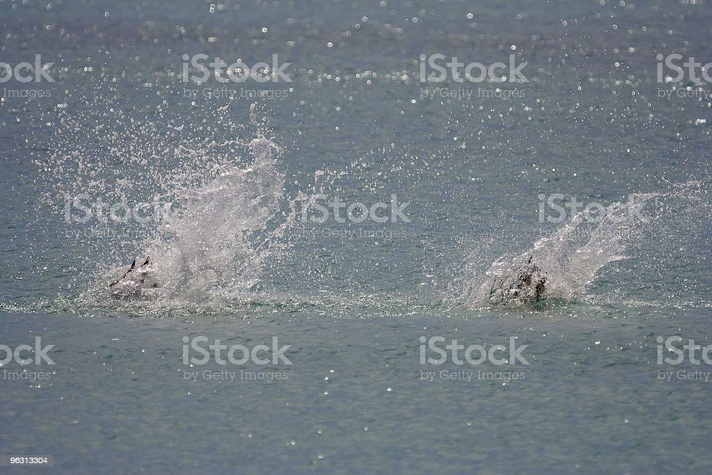 Pelicans diving in tandem (2nd of 2) stock photo