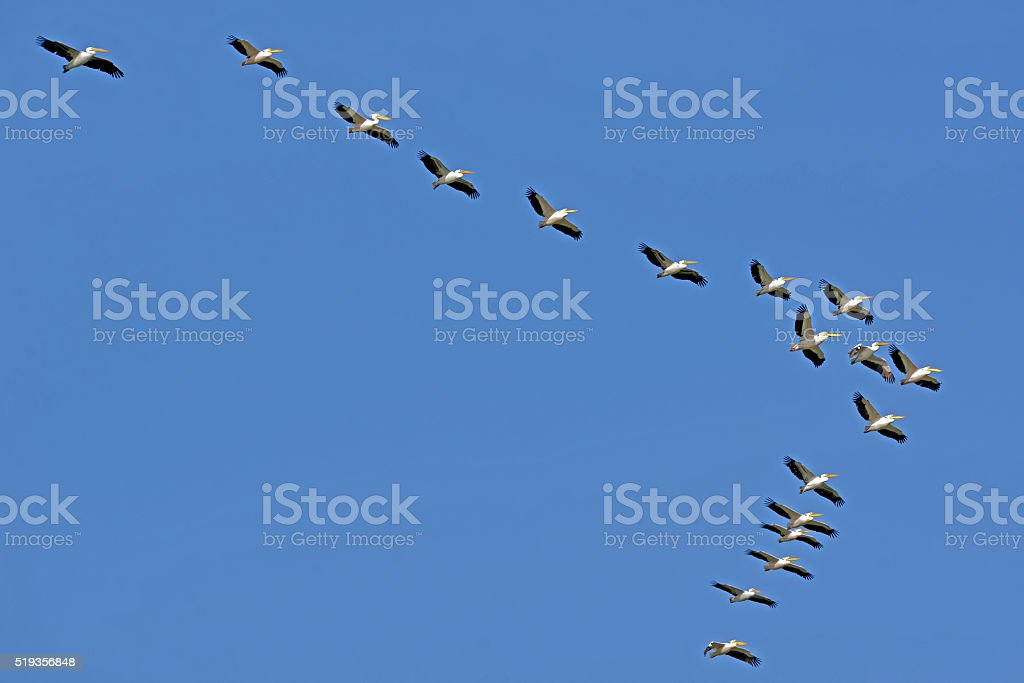 Pelicans flying against the sky stock photo