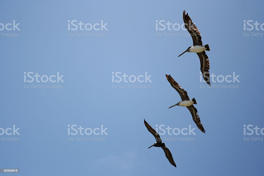 Pelicans Flying and Blue Sky royalty-free stock photo