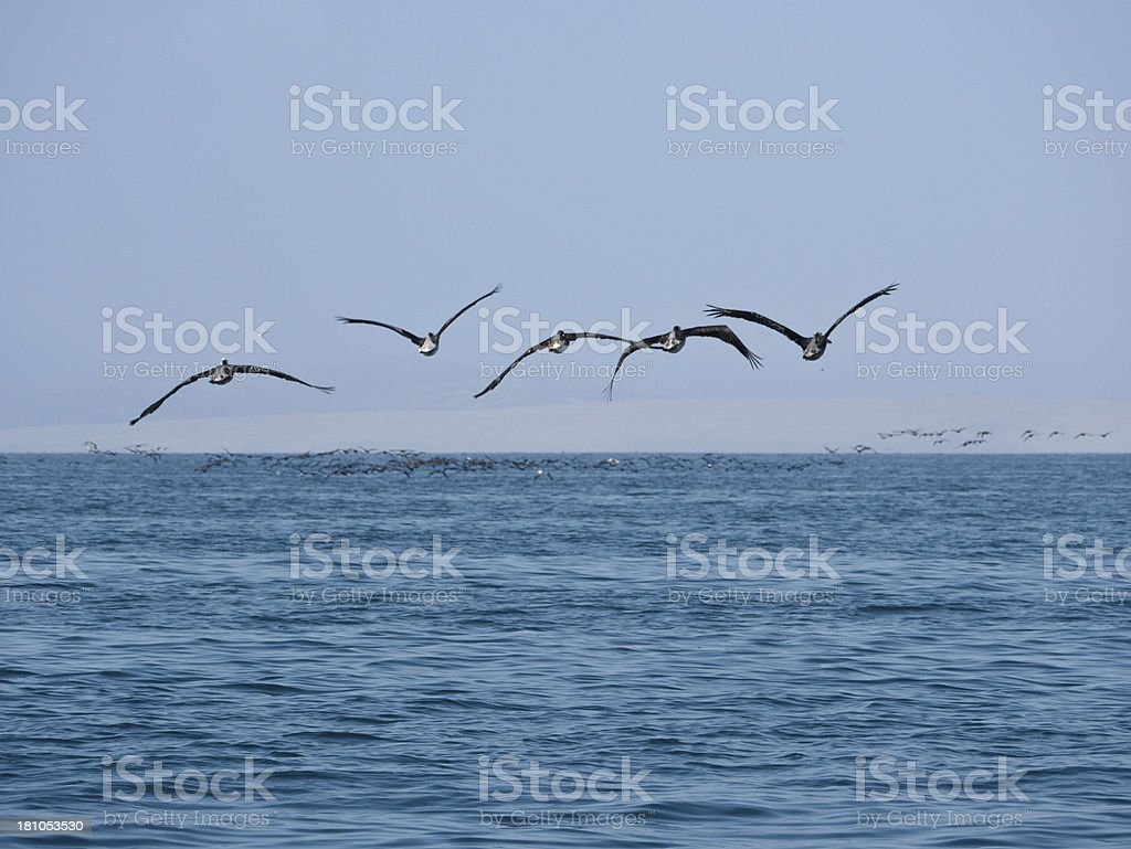 Pelicans flying low over the waves royalty-free stock photo