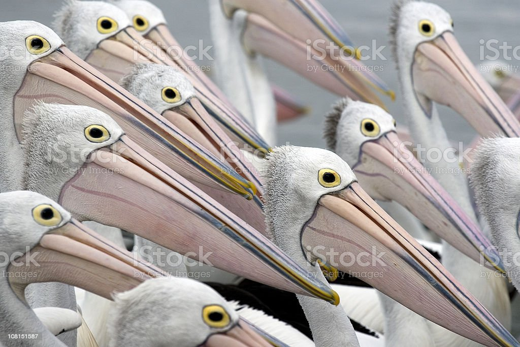 Pelicans in a group stock photo